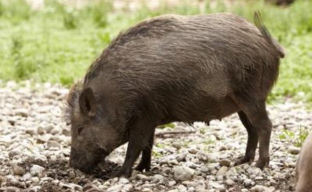 A wild hog burrows into the ground looking for food.