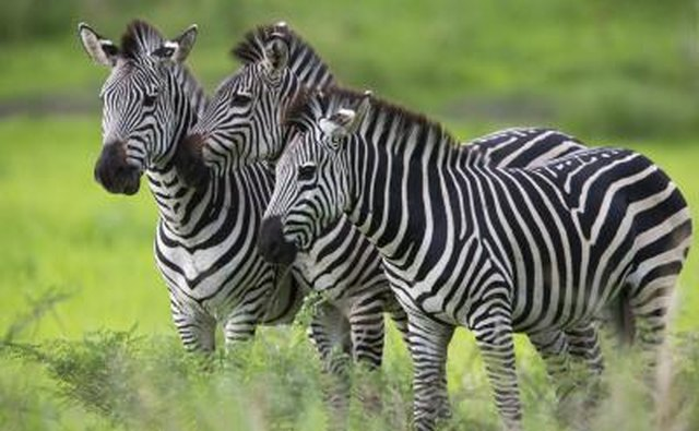 A zebra's size effects its speed.