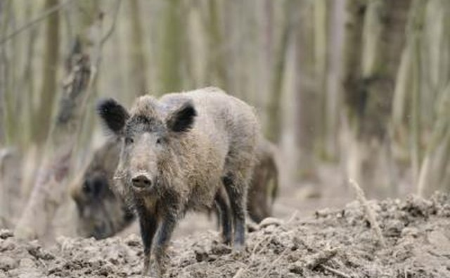 Two wild hogs in the backcountry.
