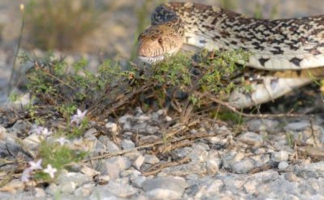 Snakes in Texas are considered non-game wildlife.
