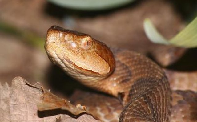 The copperhead snake is found in Texas.