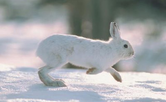 A white hare runs over the snow.
