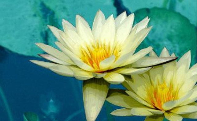 The white lotus Lelumbo lutea is completely edible.