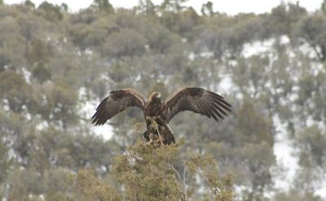 A golden eagle lands in the top of a tree.
