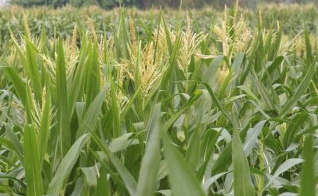 Corn field that will be used for ethanol fuel.