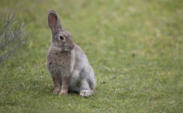 A rabbit sits on the grass with both ears up.