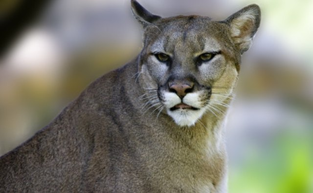 Pumas are top predators in the temperate rainforests of the Pacific Northwest.