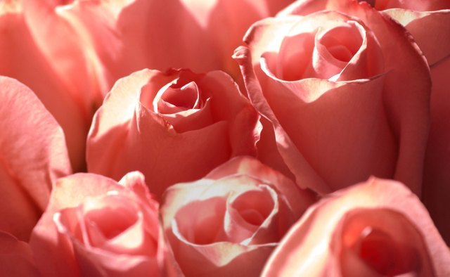 A rose offers a material analogy to the concept of love.