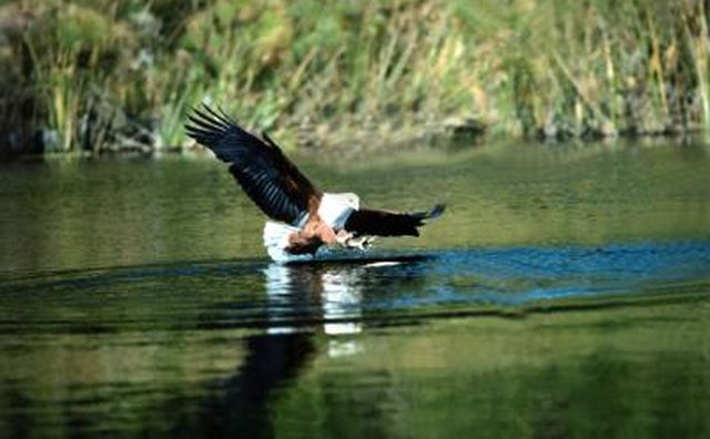 African fish-eagles patrol estuaries for fish and waterfowl.