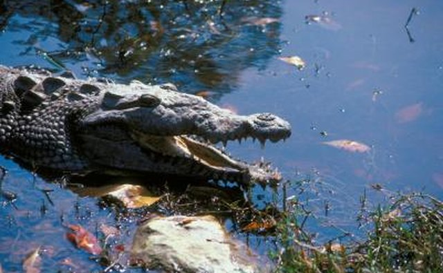 American crocodiles regularly utilize estuaries in South Florida.