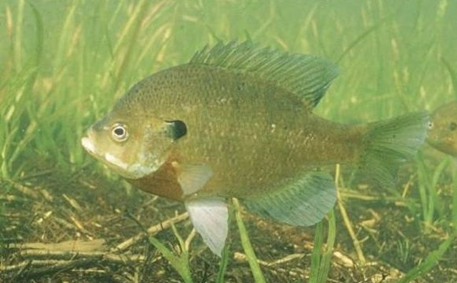 Bluegill from Wikipedia Commons