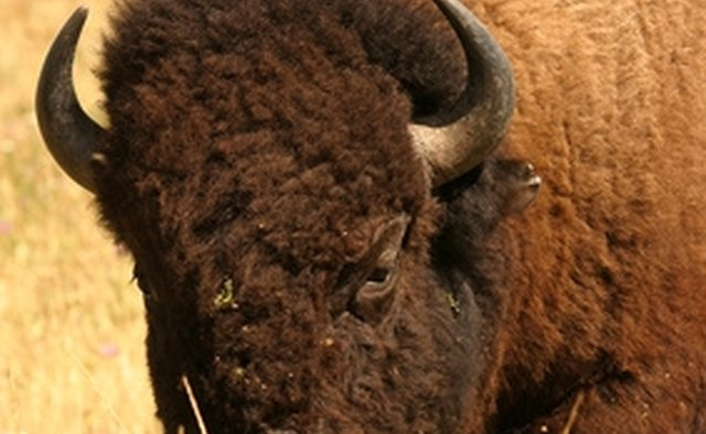 Sweetwater's bison packages offer extended hunts at a low price.