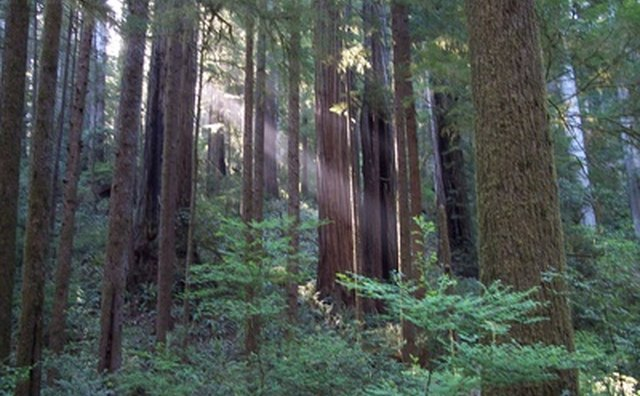 Many visitors to California's parks come to see the famous giant redwoods.
