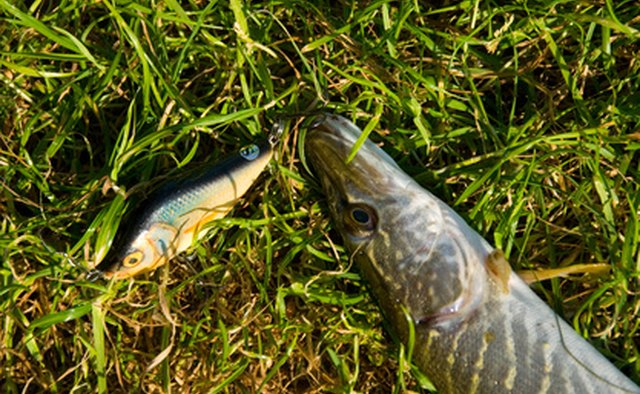 Pike next to fa ishing lure resembling local forage size and type.
