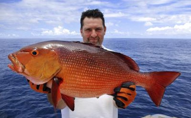 Types of salt water fish in the gulf of mexico gone for Types of red fish