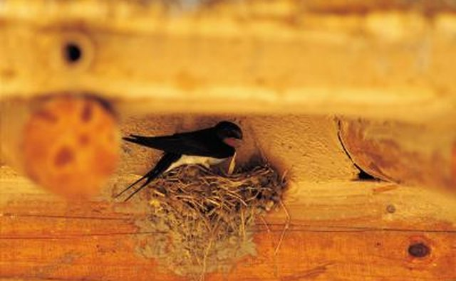 The barn swallow chooses manmade locations.