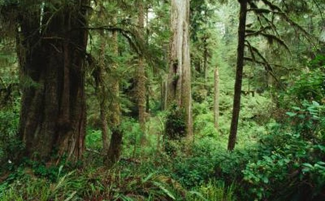 Cedar trees in forest