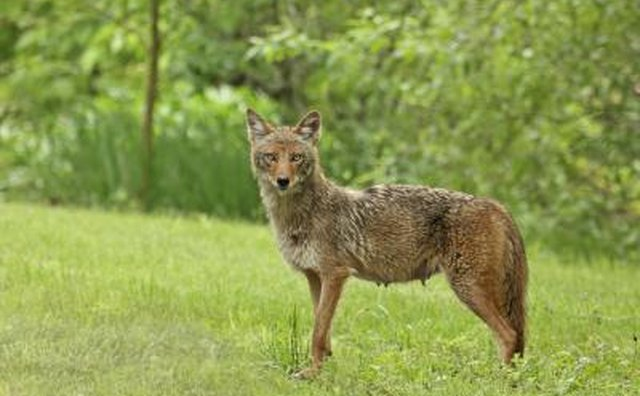 Coyote in grass area