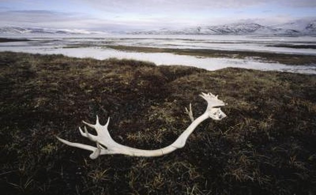 deer antlers in field
