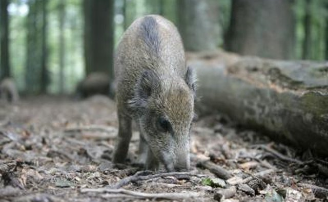 Non-native feral swine are also called European boar, wild hogs or razorbacks.