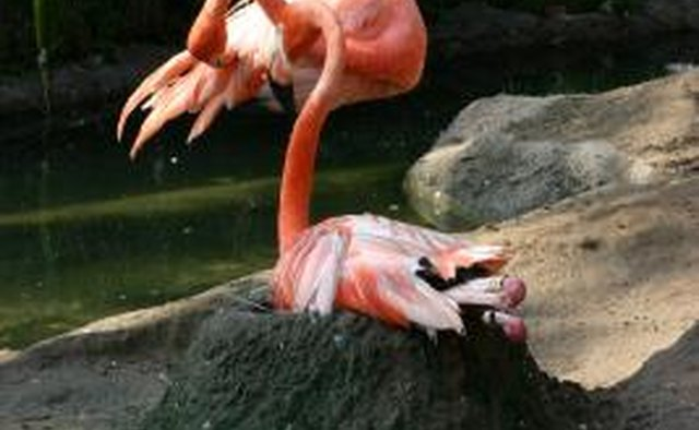 The flamingo pulls mud into a mound at its feet.