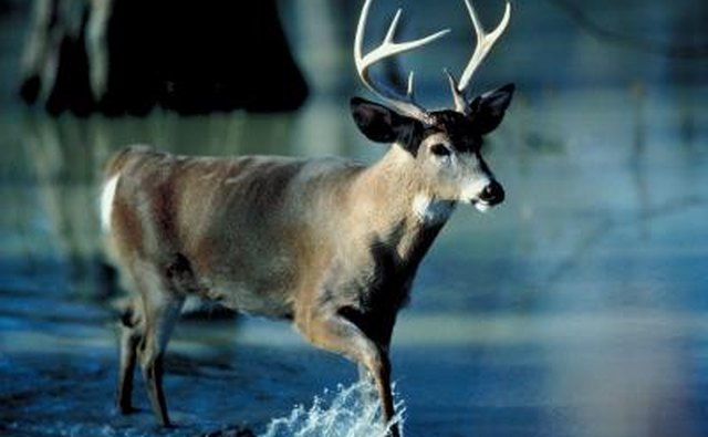 white tail dean in nature