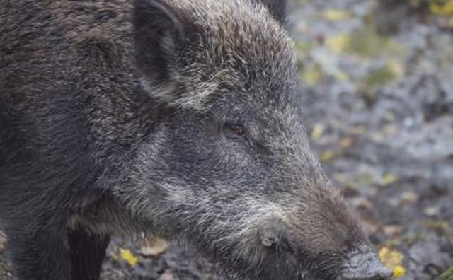 Ohio began testing wild hogs for disease in 2009.