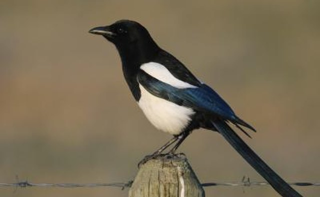 The mud nest of the black-billed magpie also includes sticks.