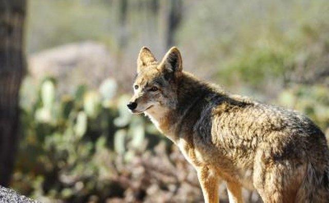 Coyote in desert