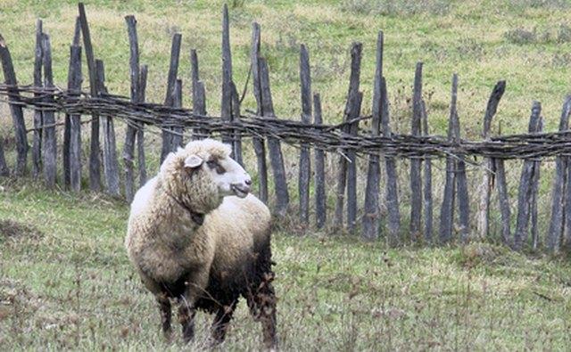 Sheep industry in Colonial America