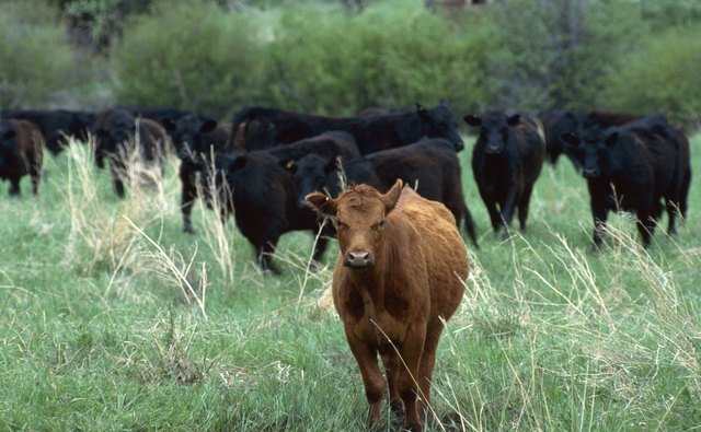 Red and black Angus cattle