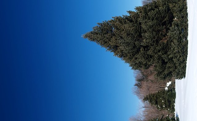trimming christmas trees is necessary to get a neat conical shape - How To Start A Christmas Tree Farm