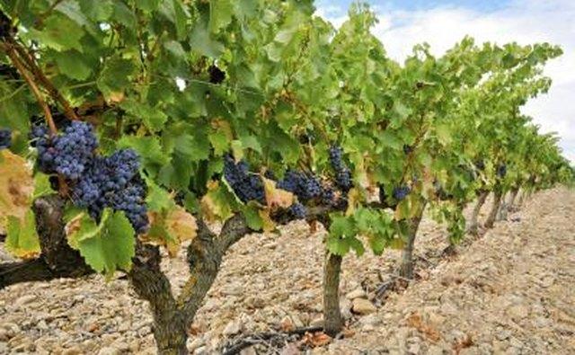 Vineyards are abundant in Spain.