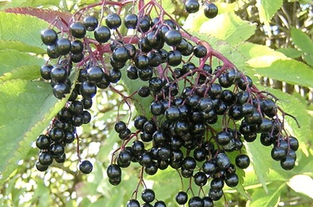 Make Your Own Elderberry Cold Tincture!