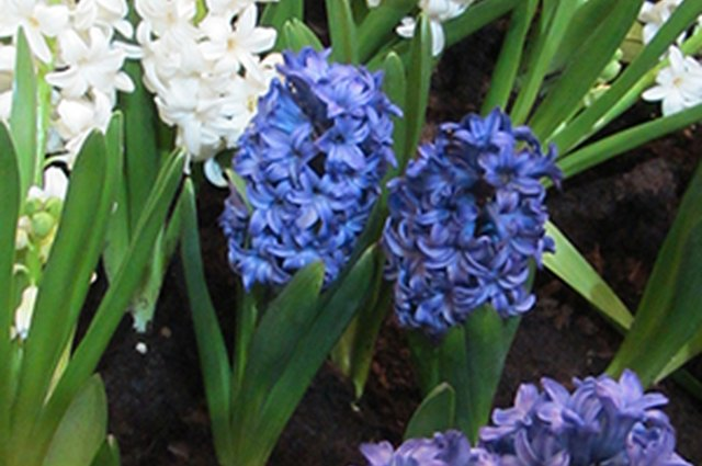 Bulbs, Corms, Rhizomes and Tubers: What's the Difference?