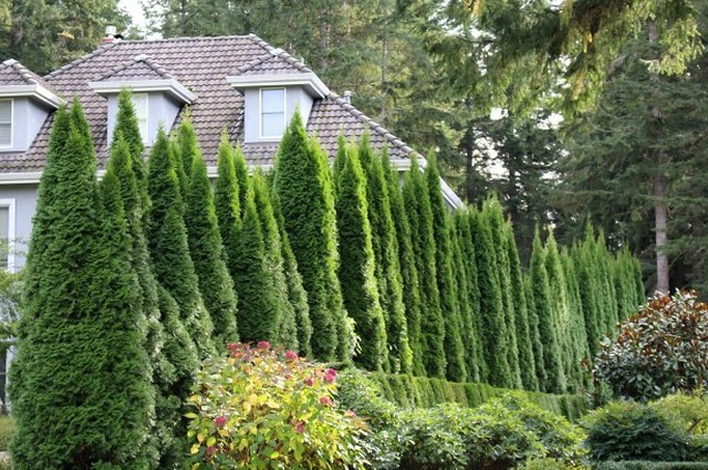 Need a Little Privacy? Plant Evergreen Trees and Shrubs