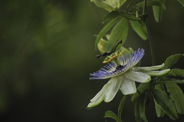 What Is Passion Flower?