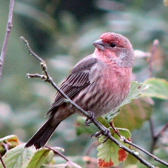 Finch Bird Symbolism