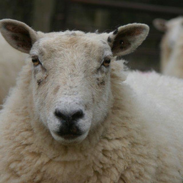 The History of Sheep Shearing