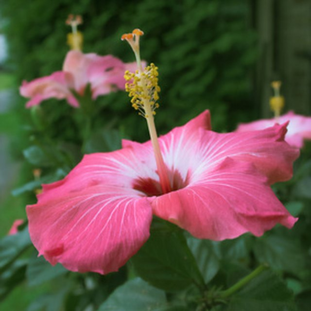 What Are The Adaptations Of The Hibiscus Plant
