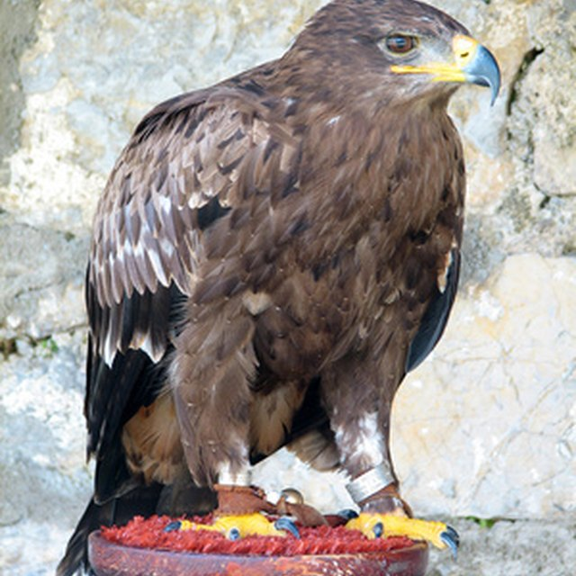 Then The Eagle Is Left With Only Two Options Or Go Through A Painful Process Of Change Which Lasts 150 Days Requires That Fly