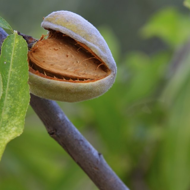 What Is the Meaning of the Almond Tree?