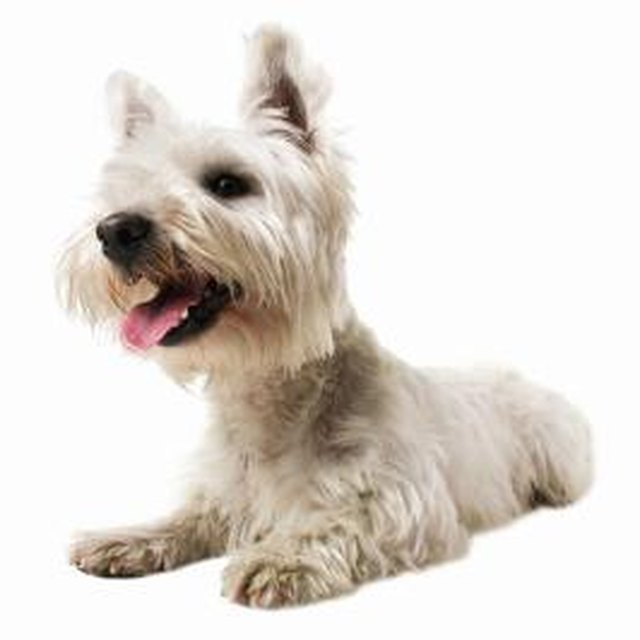 How To Remove Stains From White Dog Fur! – A Home For Pet ...