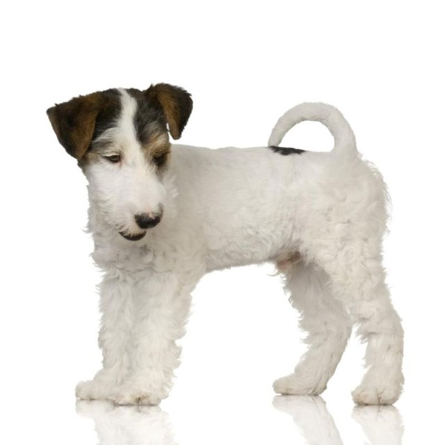 Wired Hair Terrier Rat Terrier Mix Wiring Diagrams