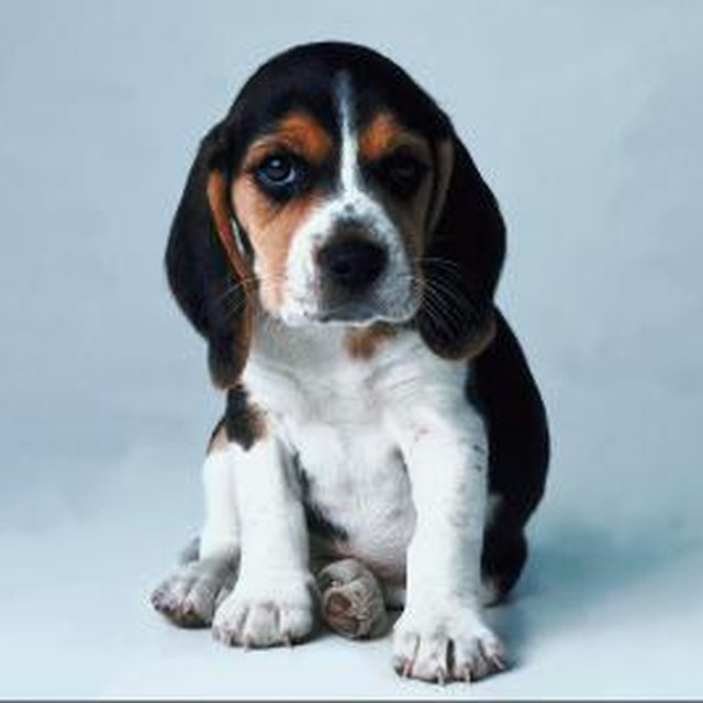 Predicting A Puppys Height Dog Care Daily Puppy