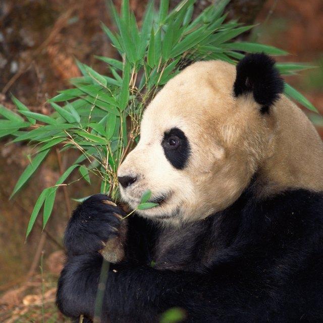 Activities for Preschoolers About Panda Bears