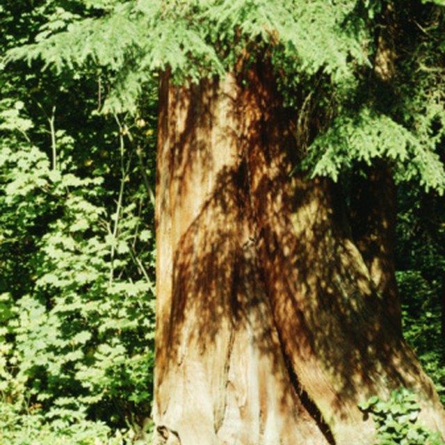 How to Dry Cedar for a Smudge Stick