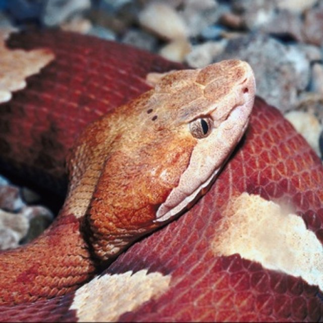 Commit error. rattlesnakes babies and adults differences share your