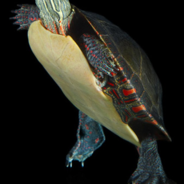 Turtles That Are Found in Indiana   Sciencing