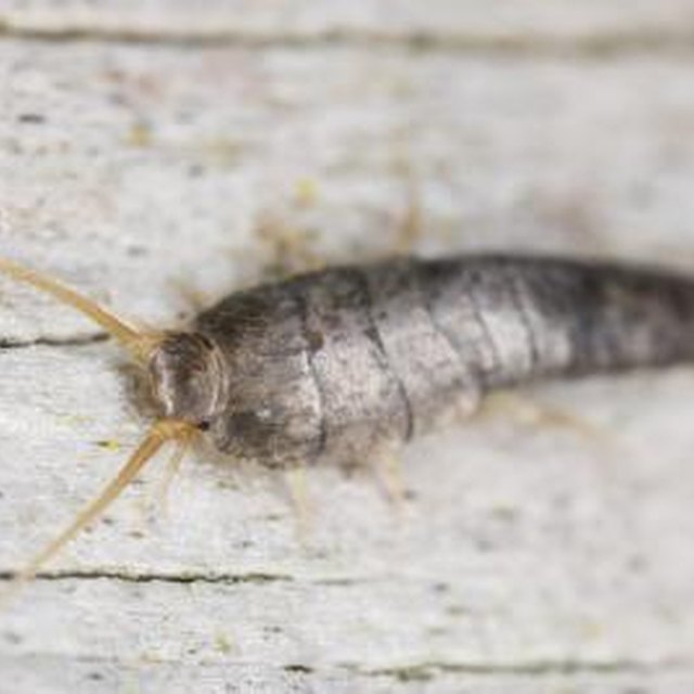 Why Are Silverfish Harmful?